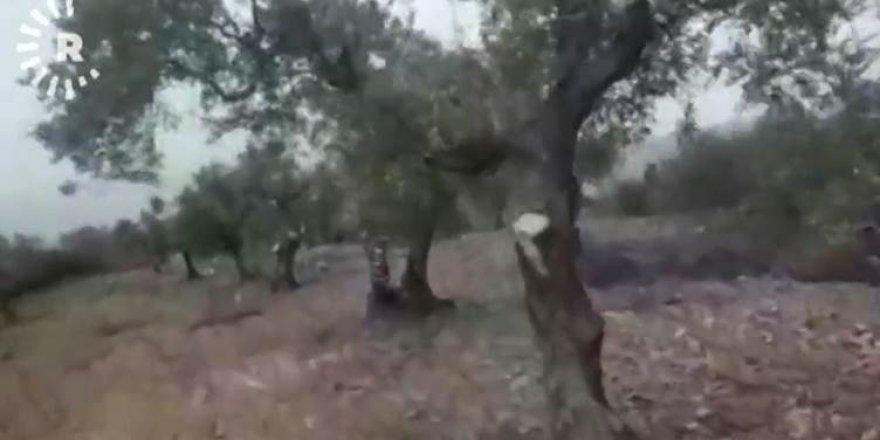 Li Efrînê çekdaran 17 hezar darên zeytûnan jinav birin
