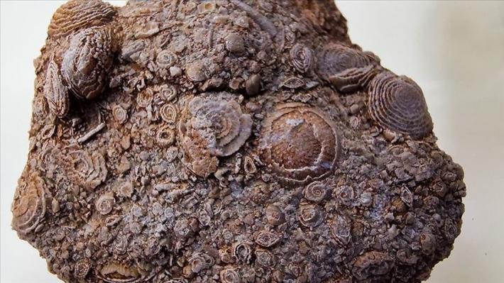 Li Sêrtê fosîlek 50 milyon salî hat dîtin